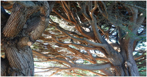 """Non-native scrub"" (Monterey cypress) adorning the Bodega Harbor Clubhouse parking lot."