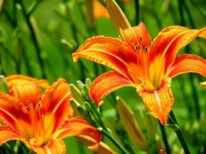 daylily-550x412