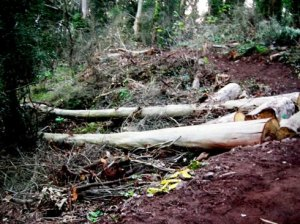 "About 50 trees were destroyed in the Interior Greenbelt, the ""natural area"" on Mount Sutro, in 2010"