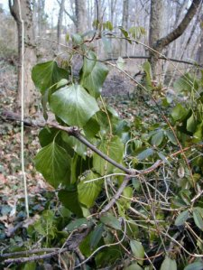 Mature Ivy
