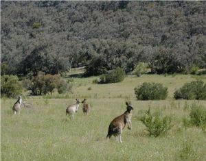 Kangaroos in native grassland