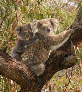Koala and joey.  Creative Commons