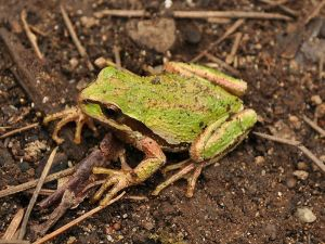 Pacific Chorus Frog, Creative Commons
