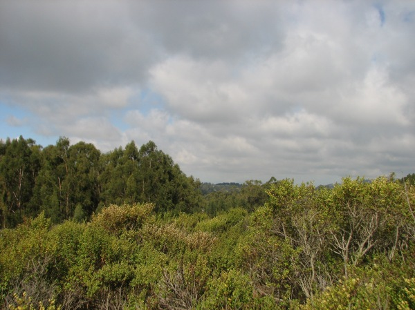 "A huge expanse of coyote brush at Lake Chabot, an example of a native plant that would be called ""invasive"" if it were not native."