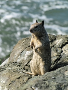 California Ground Squirrel at the Berkeley Marina.  Creative Commons - Benefactor 123