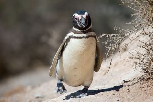 Magellanic Penguin.  Creative Commons