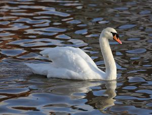 Mute Swan.  Creative Commons - Share Alike