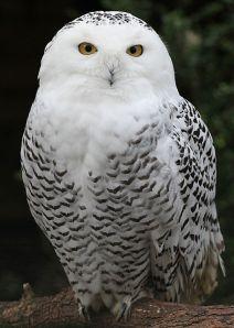 Female Snowy Owl.  Creative Commons