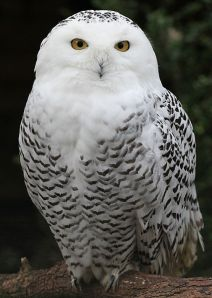 Female Snowy Owl.  Creative Commons
