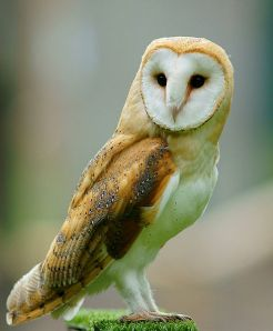 Barn Owl.  Creative Commons 2.0 Generic.
