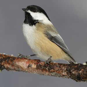 Black-capped Chickadee - Creative Commons - Share Alike