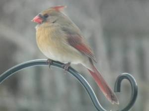 Northern Cardinal, Female.  Creative Commons - Share Alike