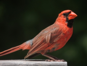 Northern Cardinal, Male.  Creative Commons - Share Alike