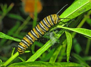 Monarch butterfly caterpillar - Creative Commons - Share Alike