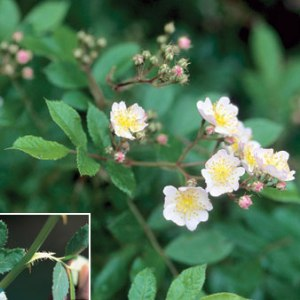 Multiflora rose.  NPS