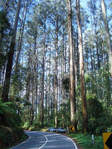 Australian eucalyptus forest (Eucalyptus regnans). Victoria, Australia