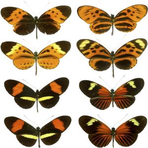 Heliconius mimicry.  Creative Commons Generic 2.0