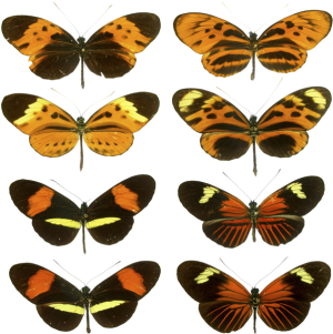 Heliconius mimicry.  Creative Commons Generic 2.0