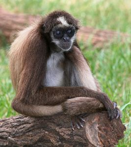 Brown spider monkey, New World monkey.  Creative Commons - Share Alike