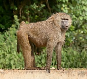 Olive baboon, Old World monkey by Mohammad Mahdi Karim