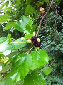 Mulberries.  Courtesy Kristi Overgaard