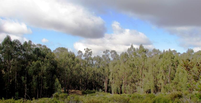 Eucalyptus forest, Lake Chabot
