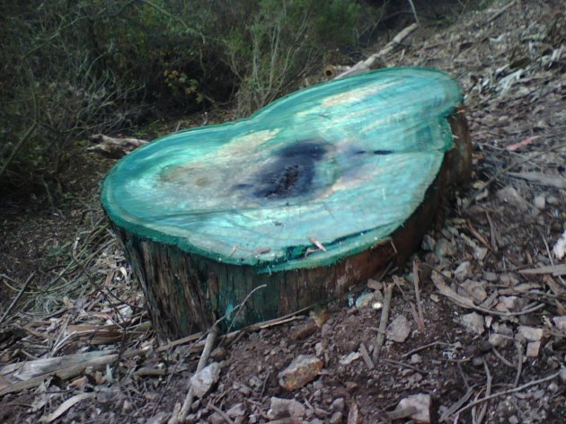 Poisoned and dyed eucalyptus stump, Glen Canyon Park, 2013.  Courtesy San Francisco Forest Alliance