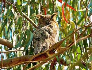 Great horned owl in eucalyptus.  Courtesy urbanwildness.org