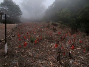 """The """"managed"""" portion of the Sutro forest:  orange flags and weeds"""
