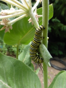 Monarch caterpillar on milkweed.  Tilden Botanical Garden