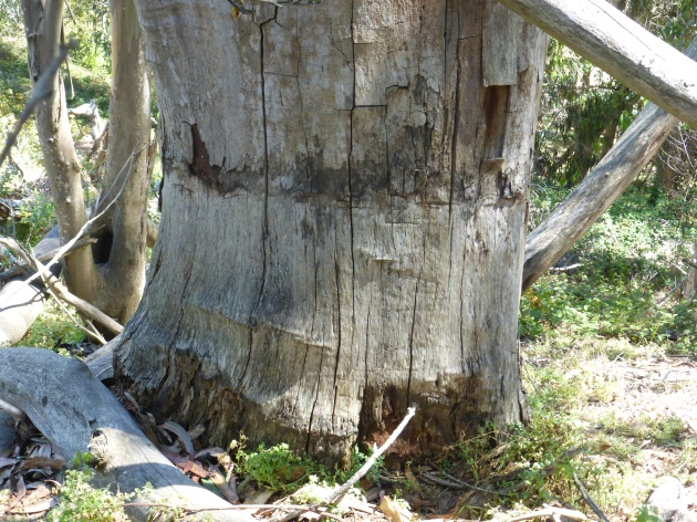 Girdled tree in Glen Canyon Park, now dead, June 2014