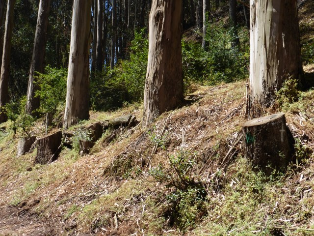Some of the stumps of the trees that were destroyed in Glen Canyon Park in 2013.  Taken June 2014