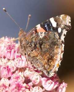 Painted lady butterfly on Weigela.  Courtesy urbanwildness.org