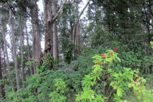 Native red elderberry on Mount Sutro.  Courtesy Save Sutro Forest