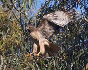 Red-tailed hawk nesting in eucalyptus. Courtesy urbanwildness.org