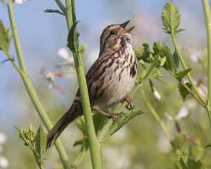 Song sparrow in wild radish.  Courtesy urbanwildness.org
