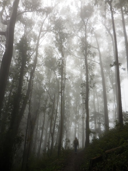 Sutro forest on a typical summer day.  Courtesy Save Sutro Forest.