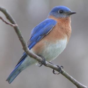 Eastern bluebird, public domain