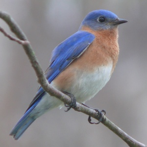 Eastern bluebird, public domain