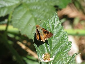 The umber skipper has adapted to Bermuda grass in lawns in the East Bay.  Creative Commons