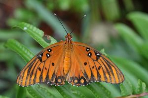 Gulf Fritillary.  Creative Commons