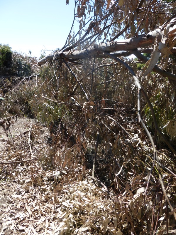 Some of the hundreds of trees destroyed by UC Berkeley in August 2014