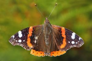 Red Admiral.  public domain