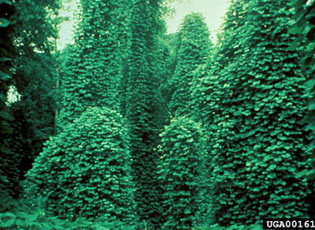 Kudzu evolved in Japan.  USDA