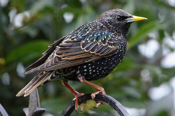 Starling in breeding plumage.  Creative Commons - Share Alike