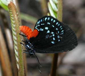 Eumaeus atala butterfly laying eggs on coontie.  Creative Commons - Share Alike