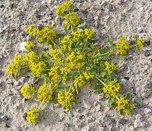 Lepidium flavum found alongside the road in Tecopa, California.  Creative Commons - Stan Shepp