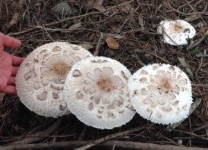 Mature Parasol mushrooms - note hand for size comparison