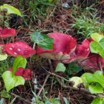 mushrooms SFFA 1