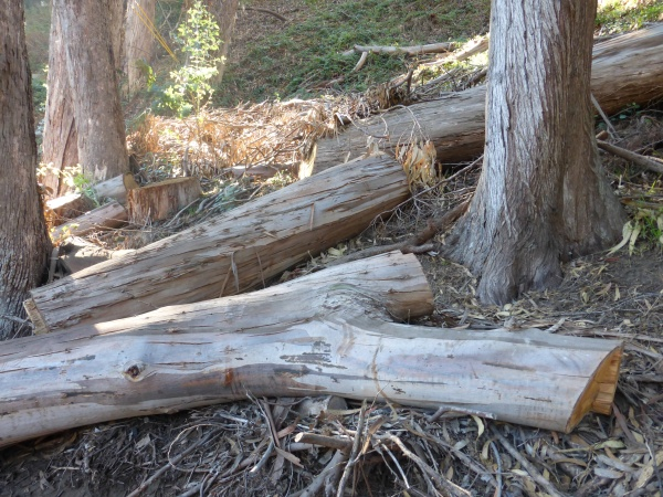 "A few of the trees destroyed recently in Pine Lake ""natural area"""